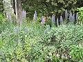 Echium candicans (Serres de la Madone).jpg