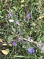 Echium vulgare 55075567.jpg