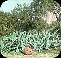 Egypt, Aloe Plant, Esbekiyeh Place, Cairo.jpg