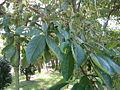 Ehretia acuminata2.jpg