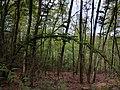 Ein gebogenes Bäumchen im Wald.jpg