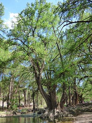 Taxodium mucronatum - Image: El Sabinal, Salto de los Salado, Aguascalientes 51