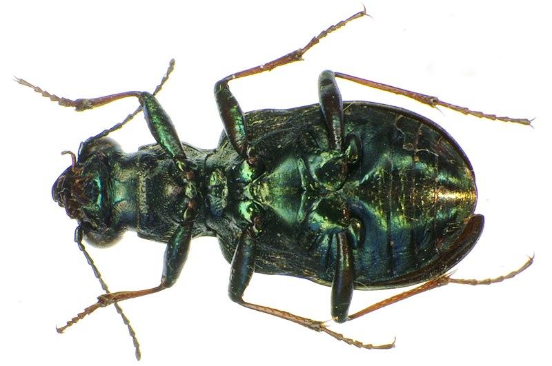 File:Elaphrus cupreus underside.jpg