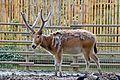Elaphurus davidianus - 02.jpg