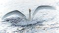 Elegant landing of a swan, Skien.jpg