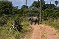Elephant, Ruaha National Park (5) (28651180931).jpg