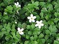 Ellisiophyllum pinnatum.jpg