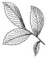 Elm (Leaf) (PSF).png