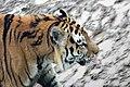 Em - Panthera tigris altaica 9.jpg