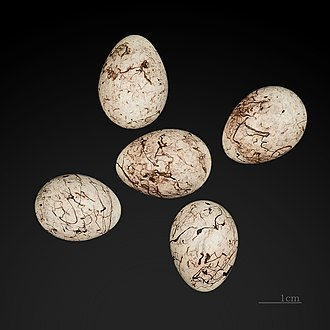 Yellowhammer - Eggs at the Muséum de Toulouse