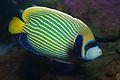 Emperor angelfish (Pomacanthus imperator),.jpg