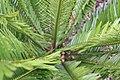 Encephalartos msinganus 4zz.jpg