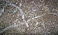 Encrinite (crinoidal limestone) KY.jpg