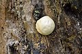 Enteridium lycoperdon NIK 4929.jpg
