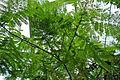 Enterolobium cyclocarpum (Boltz Conservatory).jpg