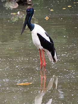 Burung botak leher hitam