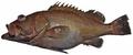 Epinephelus niveatus - pone.0010676.g051.png