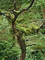 Epiphytes on tree above the Yealm - geograph.org.uk - 1364616.jpg