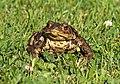 Erdkröte im Garten..2H1A4387WI.jpg