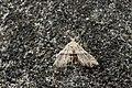 Erebidae (25981949030).jpg