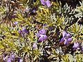 Eremophila citrina (leaves and flowers).jpg