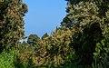 Erica arborea - La Palma 01.jpg