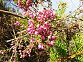 Erica bergiana var. bergiana.jpg