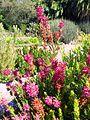 Erica verticillata flowers and sunbird - Kirstenbosch.jpg