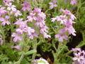 Erinus alpinus0.jpg