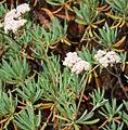 Eriogonum arborescens 2.jpg