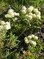 Eriogonum umbellatum (5006096853).jpg