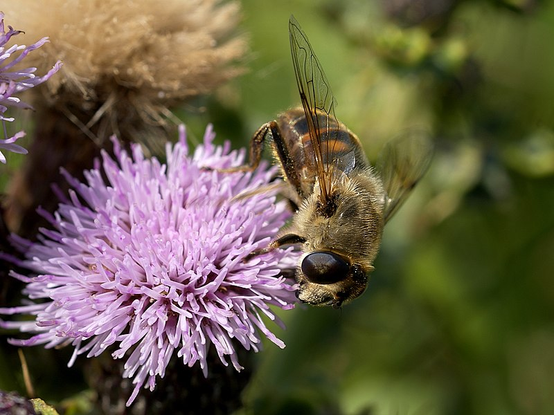 A ♀ drone fly on Creeping Thistle behind fish auction buildings at Oostende, Belgium