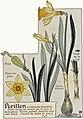 Etude de la plante - p.35 fig.31 - Narcisse jaune.jpg