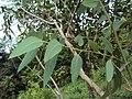 Eucalyptus camaldulensis 12.JPG