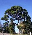 Eucalyptus citronné.jpg