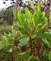 Eucalyptus conferruminata - UC Santa Cruz Arboretum - DSC07381.JPG
