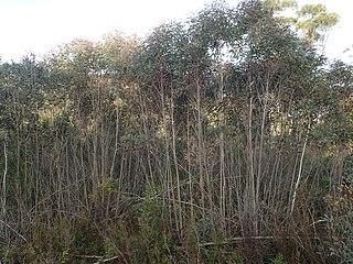 <i>Eucalyptus moorei</i> Species of eucalyptus
