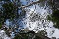Eucalyptus trees (553760095).jpg