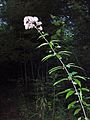 Eupatorium fistulosum (homeredwardprice) 003.jpg