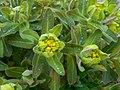 Euphorbia 2015-04-16 316b.jpg