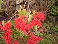 Euphorbia pulcherrima (Barlovento) 04.jpg