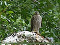 Eurasian Sparrowhawk (Accipiter nisus) (31848888841).jpg
