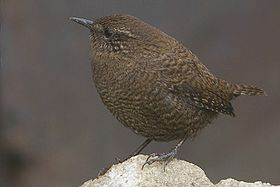 Eurasian Wren Pangolakha Wildlife Sanctuary East Sikkim India 20.10.2015.jpg