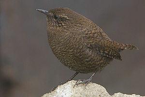 Eurasian wren - Pangolakha Wildlife Sanctuary in East Sikkim, India.