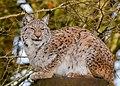 European Lynx (49304514281).jpg