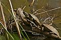 European Pond Turtle (Emys orbicularis)(middle) and 3 Mediterranean Pond Turtles (Mauremys leprosa) (25900245154).jpg
