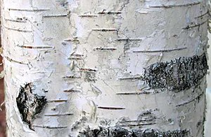 Lenticel - Image: European birch bark