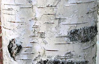 Lenticel - The dark horizontal lines on Silver birch bark are the lenticels.
