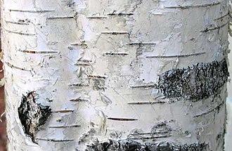 Lenticel - Image: European birch bark