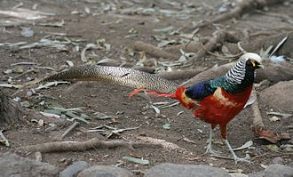 Hybrid (biology) - Hybrid between Lady Amherst's pheasant (Chrysolophus amherstiae) and another species, probably golden pheasant (Chrysolophus pictus)